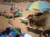 A Cow On The Beach