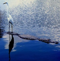 Crazy Egret: Extreme Ride on a Crocodile!