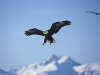 A Perfect Landing, Bald Eagle, Alaska, USA