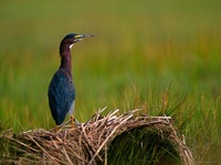 A Quiet Moment, Green Heron