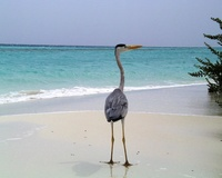 maldive bird