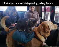 A Rat, on a Cat, Riding a Dog, in the Bus