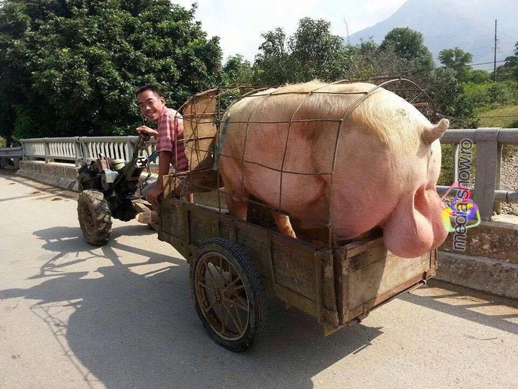 Giant Pig with Giant NUTS!