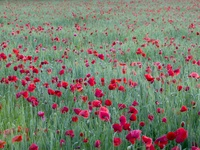 Red Poppies, Yonne, France