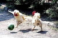 Roosters Playing Football