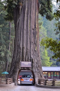 Chandelier Tree - 2400 years old in California