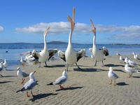 Beggars, Pelicans and Seagulls