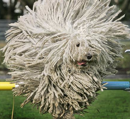 Rasta Dog Jumping